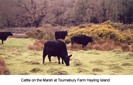 Cattle on the marsh at Tournebury Farm, Hayling Island